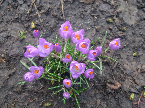 Crocuses at the apiary