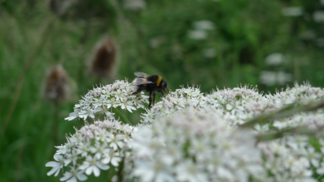 Buff tailed bumblebee on elderflower