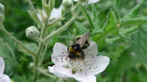 Bumble on blackberry bramble
