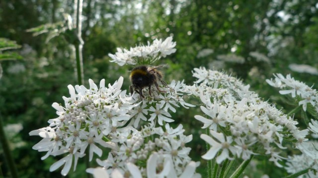 Bumble on elderflower
