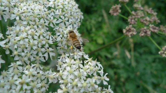 Honeybee on elderflower