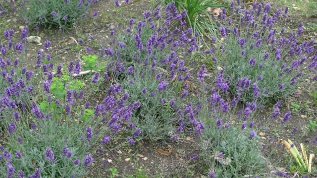 Lavender bushes - great for bees