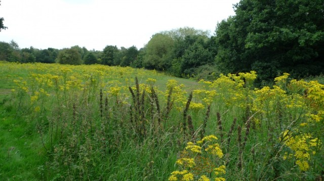 Ragwort - this pretty yellow flower gives the bees both nectar and bright yellow pollen.