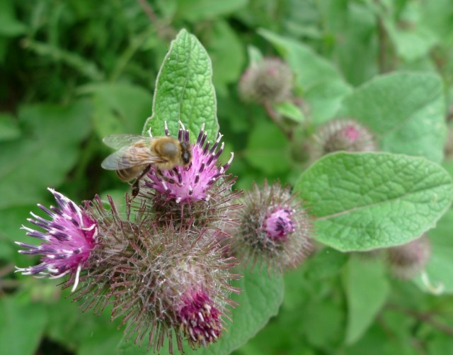 Honey bee on thistle