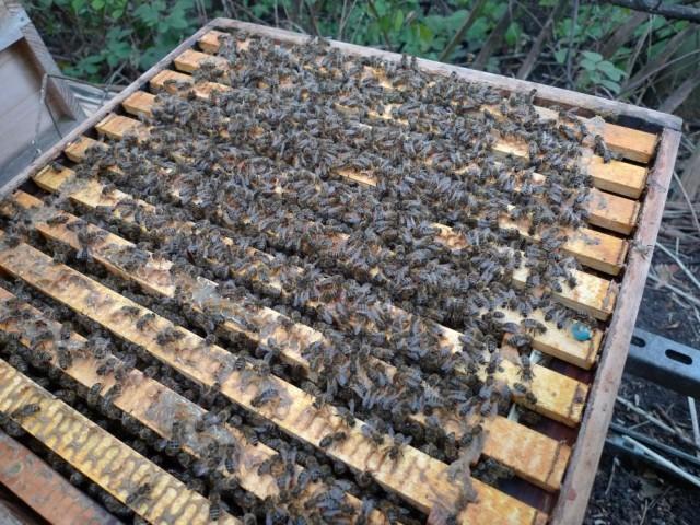 Rosemary's hive