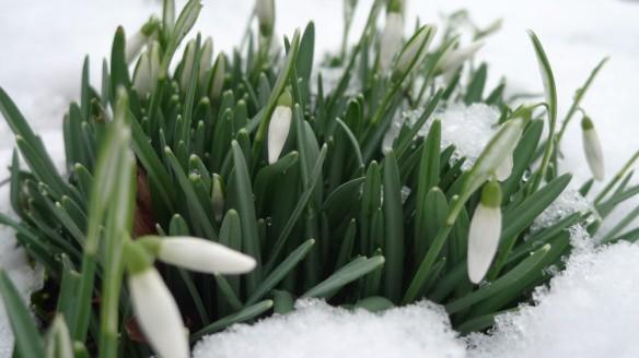 Frozen snowdrops