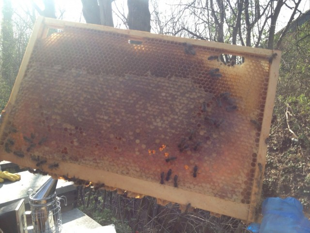 Frame of honey stores against the light (Rosemary's hive)