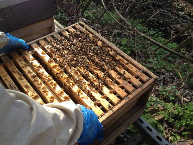 Hive inspecting (Lavender's hive)