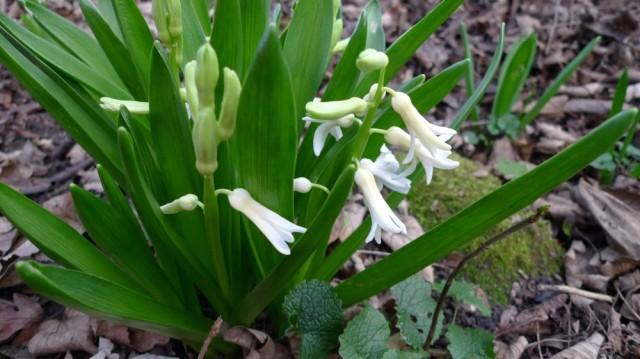 March hyacinths