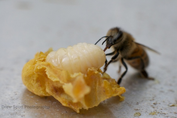 Bee tending to a larvae which had unfortunately had its cell accidentally broken during a inspection. Photo by Drew Scott.