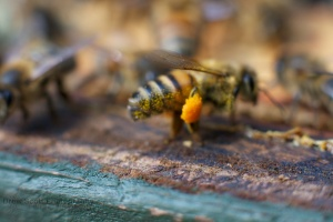 Bee with orange pollen