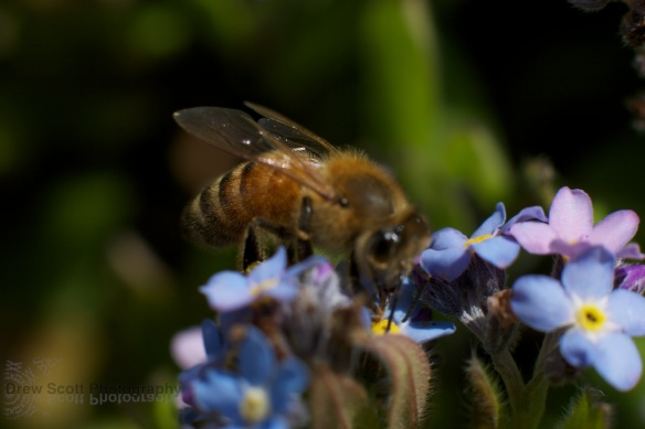 Bee on blue flower 2