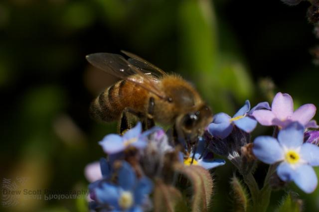 Bee on blue flower 2