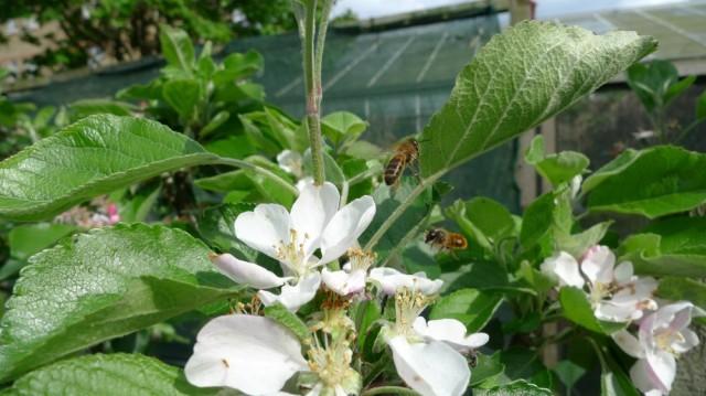 Honey bees on apple flowers