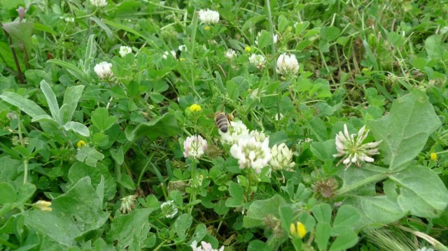 Albanian honeybee on clover