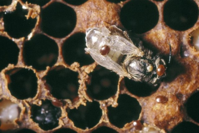 "Varroa infestation - © Crown copyright 2010 ""Courtesy The Food and Environment Research Agency (Fera), Crown Copyright"""