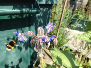 Bumble bee landing on borage