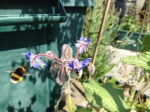 Bumble bee landing on borage