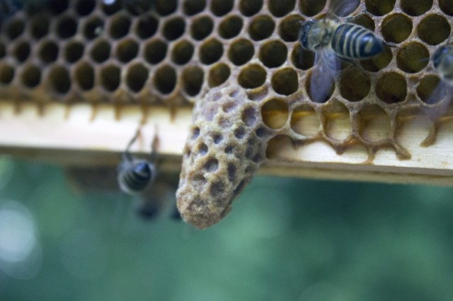 A capped queen cell, from one of our hives last year. Copyright Emma Tennant.
