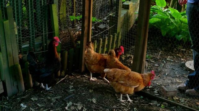 Hens!