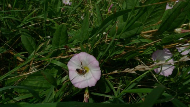 Bee in bindweed
