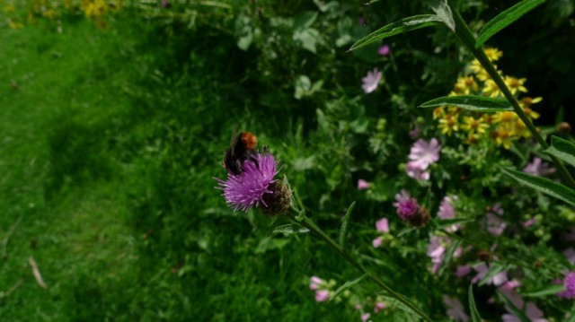 Red tailed bumble bee