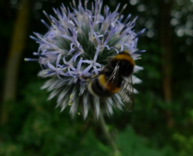 A bumble bee - big and furry