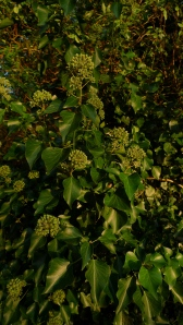 Ivy flowers in autumn.