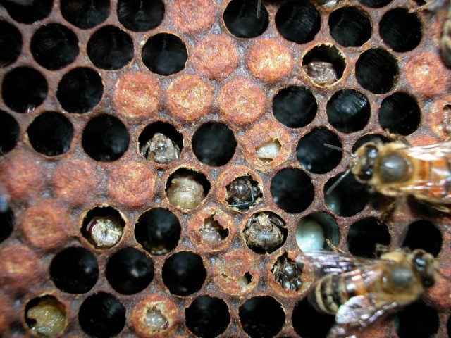 Varroa damaged brood