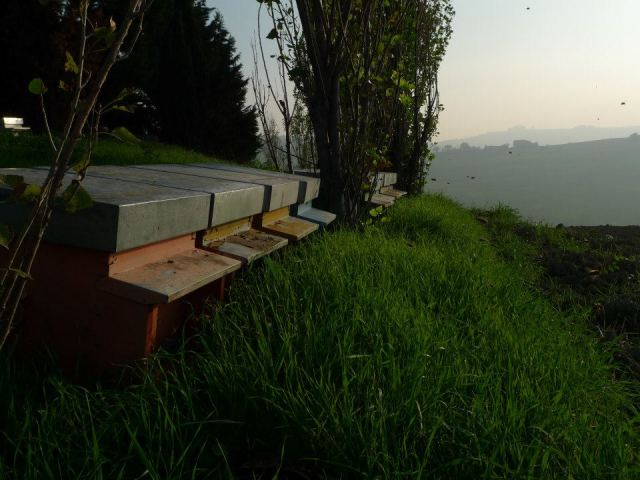 Italian bees flying home