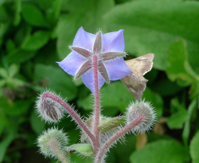 Borage and moth