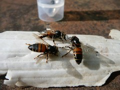 This photo shows three bees with typical CBPV