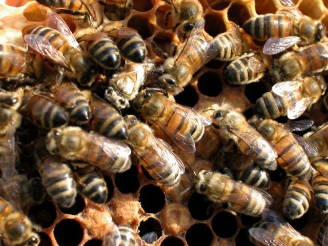Honey bees - they can tell themselves apart, we struggle. Courtesy The Food and Environment Research Agency (Fera), Crown Copyright