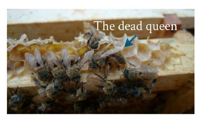Dead honeybee queen