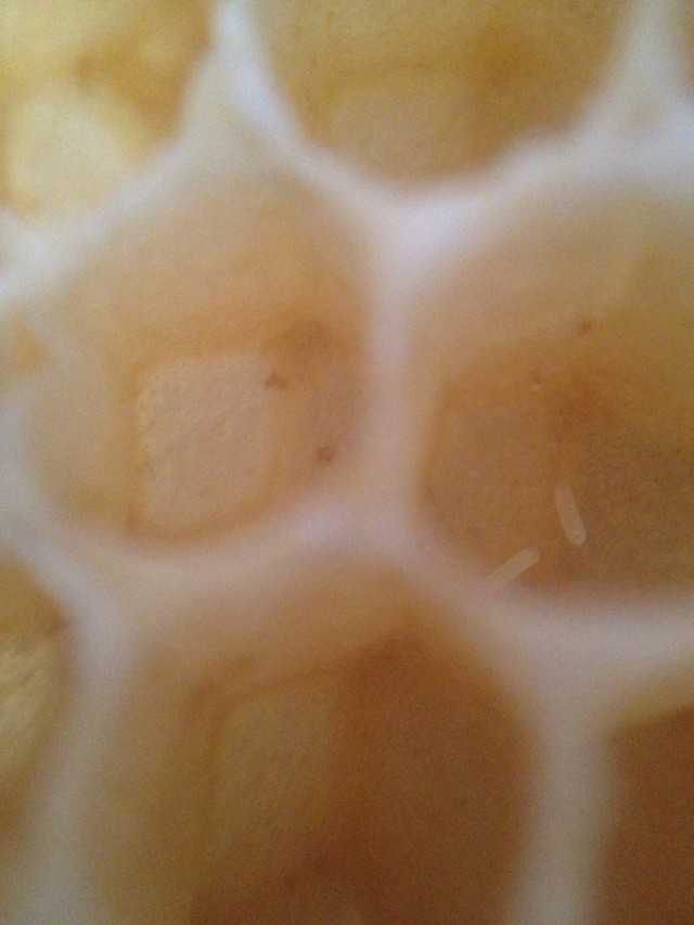 Two honeybee eggs