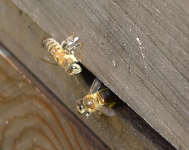 Honeybees, 6th April