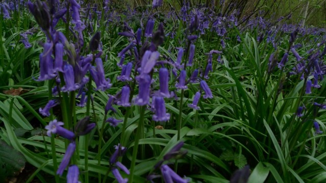 Perivale wood bluebells