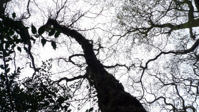 Perivale wood trees