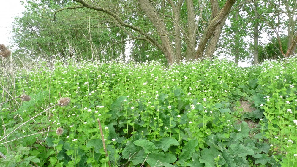 What s flowering now early may adventuresinbeeland 39 s blog for Grass like flowering plants
