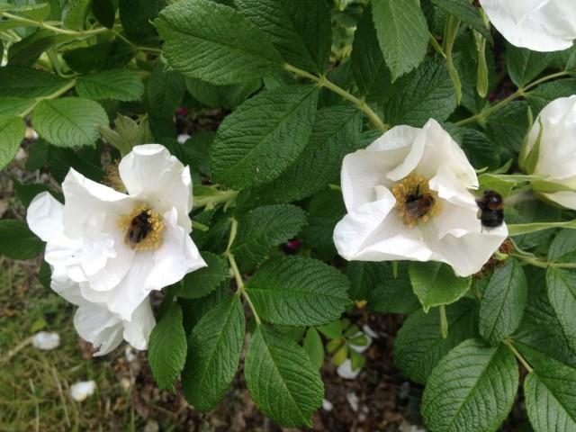 Bumblebee melee
