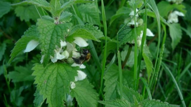 Bumblebee on nettle