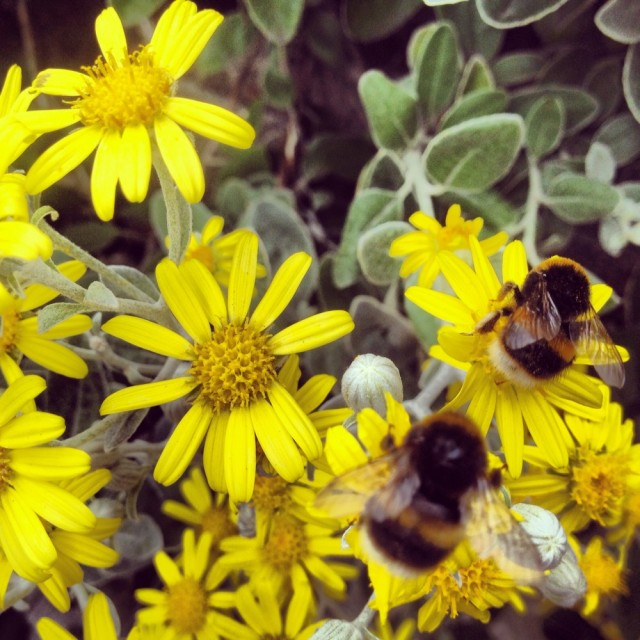 Bumble bees I photographed whilst on my lunch break near St Pauls Cathedral last week