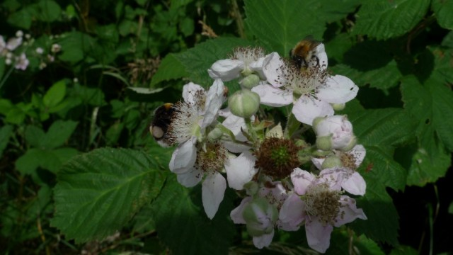 Bees on bramble