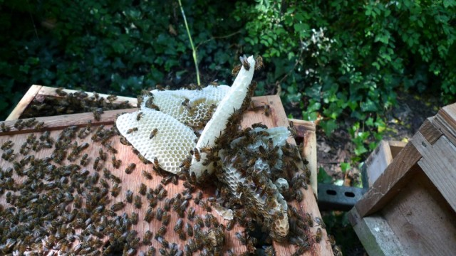 Naughty bees make comb