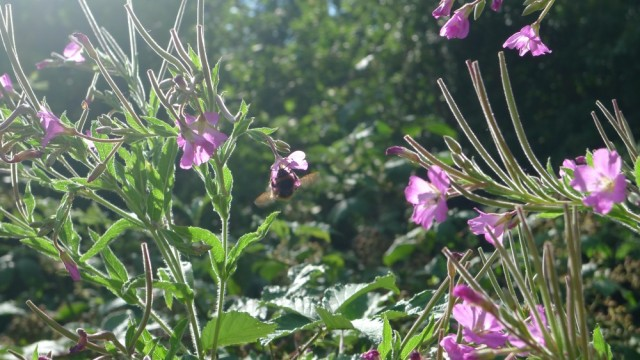 Bumble bee on rosebay willow herb