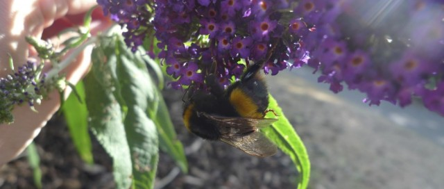 Buff-tailed bumblebee queen on buddleia