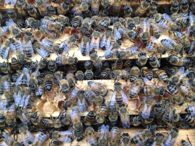Bees on brood frames