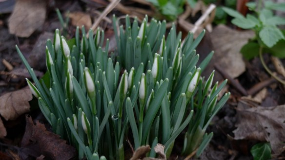 Progressing snowdrops