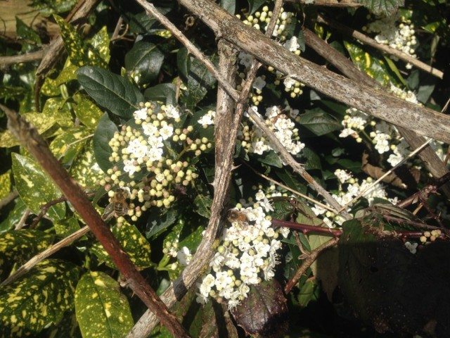 Honeybees on Viburnum Tinus