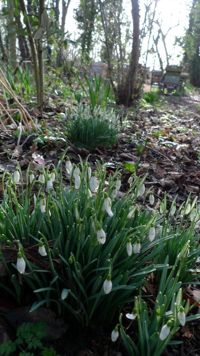 Snowdrops in February